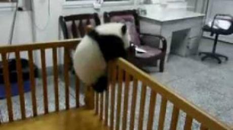 何度戻されても…ベッドの外に出たい赤ちゃんパンダ