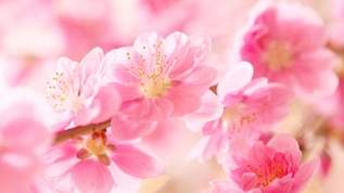 良いご縁を引き寄せる「桃花風水」で恋愛運アップ