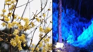春と冬が一緒に来てる!花&氷の絶景を1日で楽しめる埼玉・秩父がスゴい【宝登山のロウバイ&あしがくぼの氷柱】