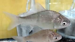 セリアで魚観察ケースが買える!ネット民→「あったああああ」「ついに買えましたー」喜びの声「欲しいんだけど手に入らない」の声も(1/2)