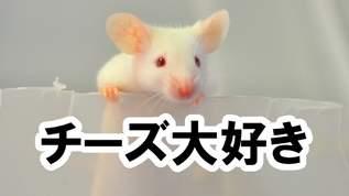 ネズミが一番好きなチーズは何? 10種類のチーズからネズミ自身に選んでもらった
