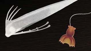 世界最長の硬骨魚類「リュウグウノツカイ」のティーバッグが大きすぎる!