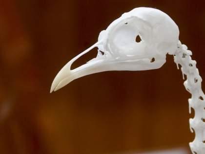 【ダイソー】「個人的100円商品で久々のヒット」「存在感がすごい」ハロウィン鳥骸骨フィギュアが売り切れ続出(1/2)