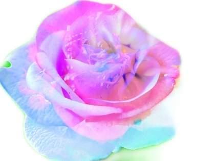 セリアのオーロラのバラが超話題で品切れ状態に→ネット民「ああん!素敵!」「最高過ぎて好き過ぎる!」「可愛すぎて可愛すぎて即購入」「すぐ完売しそう」(1/2)