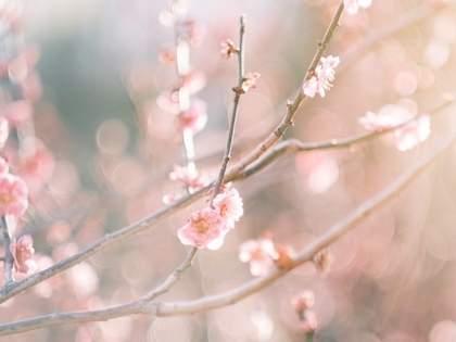「桜・梅・桃・杏・李のみわけ方」がわかりやすいと話題に→ネット民「勉強になります」「お見事」の声