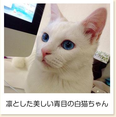 凛とした美しい青目の白猫ちゃん