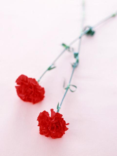 花のイメージ 花・植物 植物 花の部分 切り花 2本 花 カーネ...